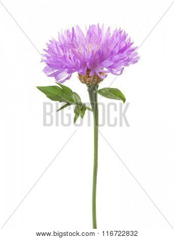 Light lila flower isolated on white background. Persian Cornflower.
