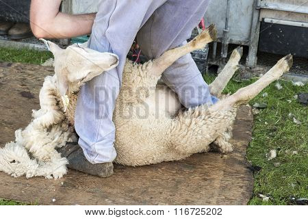 Man Shearing Sheep By Hand