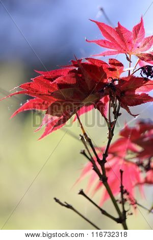Red Japanese Maple Leaves with soft focus background