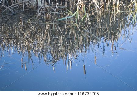 Bulrush, Blue Water reflection background, copy space