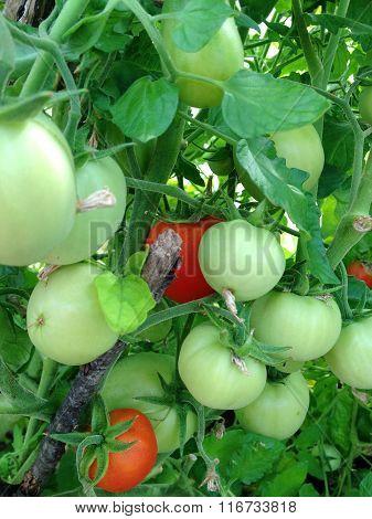 large tomatoes on the bush