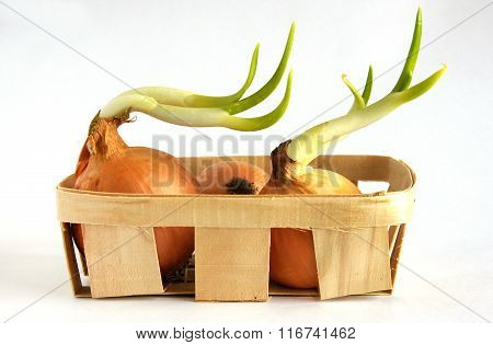 The Sprouted Onion