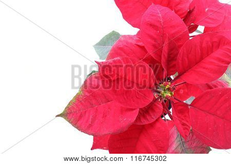 Red Poinsettia Tree Isolated On White Background