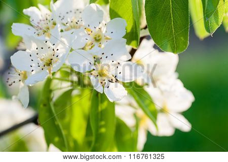 Beautiful Flowering Tree With Green Leaves In The Spring Close Up