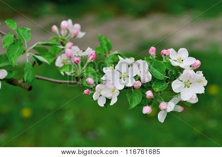 Beautiful Blooming Apple Tree Branch In Spring Time