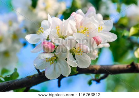 Close Up Of White Frangipani Flower
