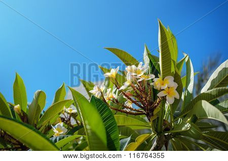 Close-up Blooming Branch Of A Tree Plumeria