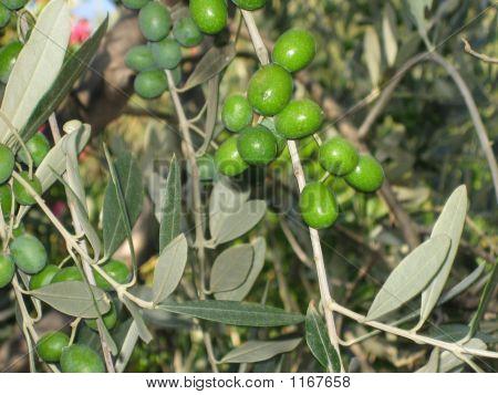 Green Olives, Bolgheri, Tuscany, Italy