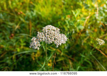 Flowering Yarrow Achillea Millefolium
