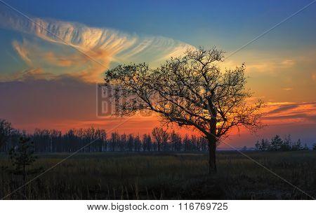 Alone Oak At Sunset