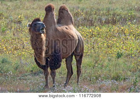 Surprised Bactrian Camel (camelus Bactrianus)