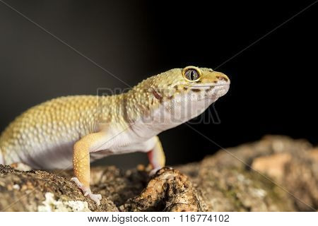 Frontal View A Leopard Gecko On A Branch