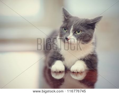 Angry Smoky-gray With White Domestic Cat