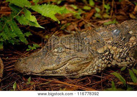 caiman alligator