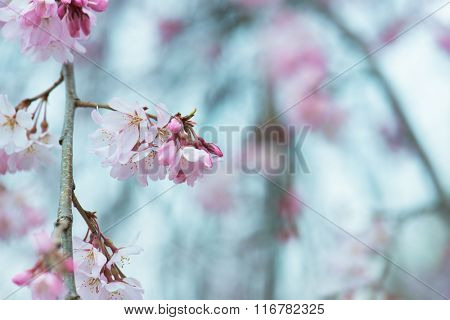 Beautiful spring cherry blossom with flower buds, early spring soft pastel blue background. Shallow depth of field.