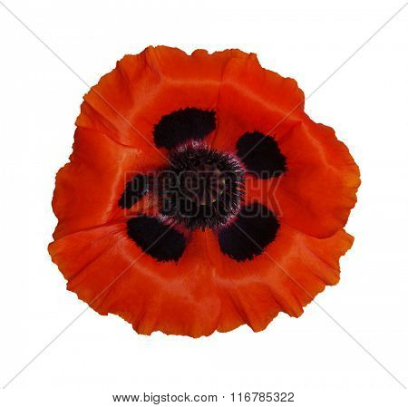One red poppy isolated on white background