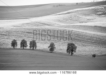 Colza Fields In Czech Moravia Hills. Arable Lands In Spring