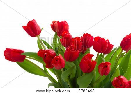 fresh red tulip flowers