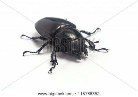 Female Stag Beetle (lucanus Cervus) Isolated On White Background