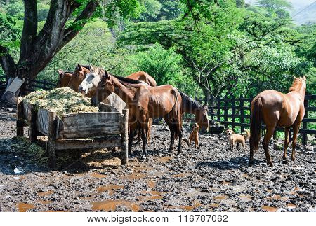 Group Of Horses Eating Dry Hay, Near Maragalpa In The Northern Highlands Of Nic