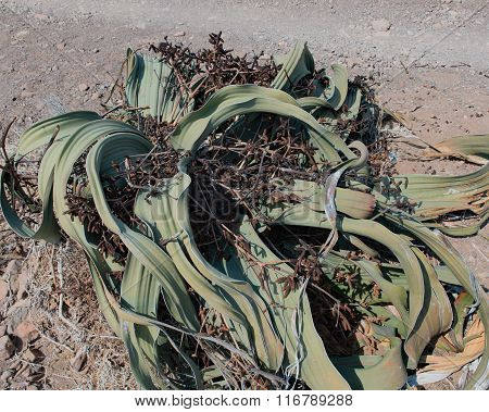 Welwitschia plant in Namibia Africa