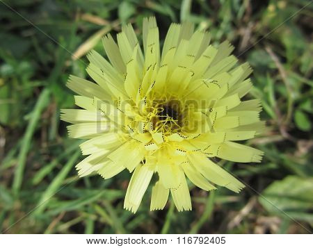 Meadow Salsify Flower Also Known As Showy Goat's Beard Or Jack Go To Bed At Noon