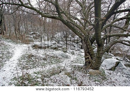 The Path Goes Through The Winter Woods Near Bizarrely Spreading Trees.