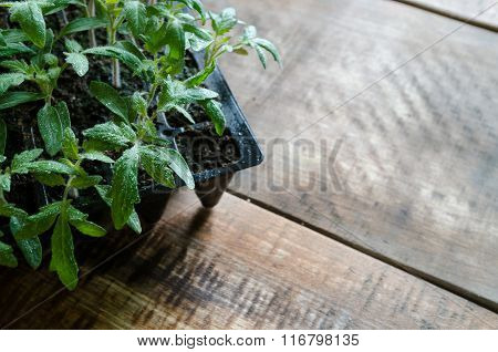 Tomato seedling in plastic tray