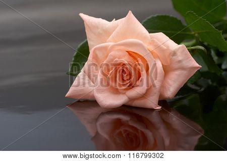Rose on a dark background