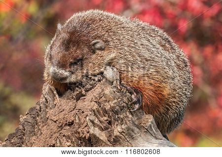 Woodchuck (marmota Monax) Looks Down From End Of Log