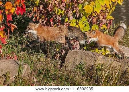 Red Fox (vulpes Vulpes) Chases After Other With Meat