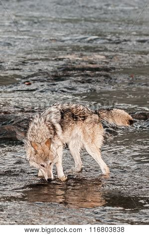 Grey Wolf (canis Lupus) Drinks From River
