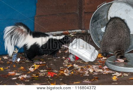 Striped Skunk (mephitis Mephitis) Watches As Raccoon Raids Trash Can