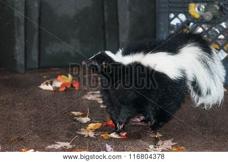 Striped Skunk (mephitis Mephitis) Stands Near Waste Bins