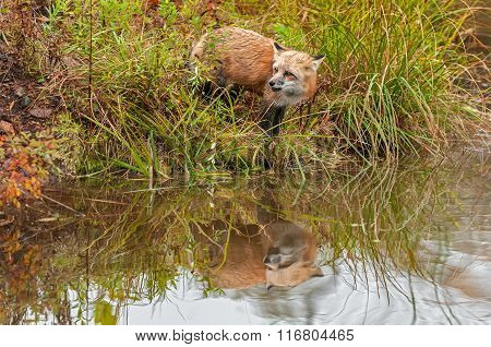 Red Fox (vulpes Vulpes) Looks Left With Reflection
