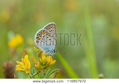 Summer scene with common Blue butterfly sitting on a wild yellow flowers