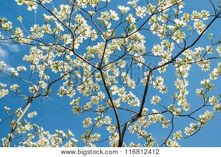 Low-Angle View of Blooming Dogwood Branches