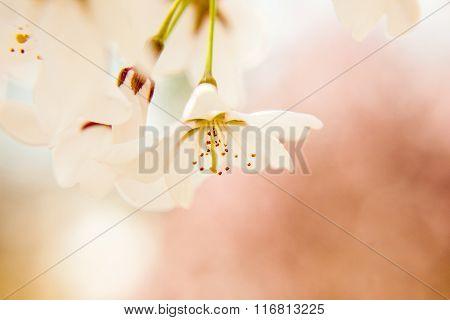 Soft, Closeup Image of Apple Blossom