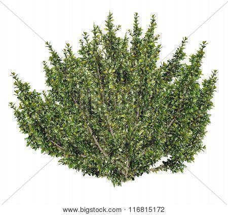 African boxwood tree, myrsine africana - 3D render