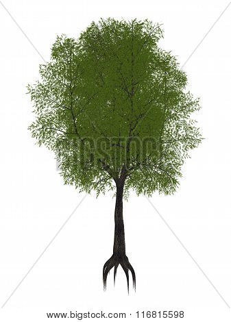 Tamarind tree, tamarindus indica - 3D render