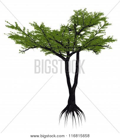 Umbrella thorn acacia tree, a. or vachellia tortilis - 3D render