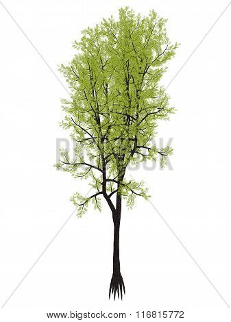 Outeniqua yellowwood tree, podocarpus falcatus - 3D render