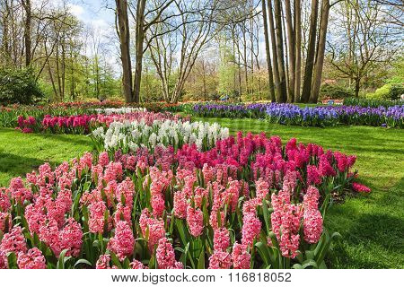 Spring garden with blooming hyacinth flowers