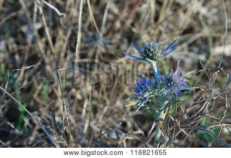Flowers Of Blue Thistle In Kamenjak In Croatia.