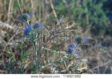 Flowers Of Blue Thistle In Kamenjak In Croatia