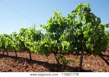 Vineyard in Paniza, Zaragoza province, Aragon, Spain