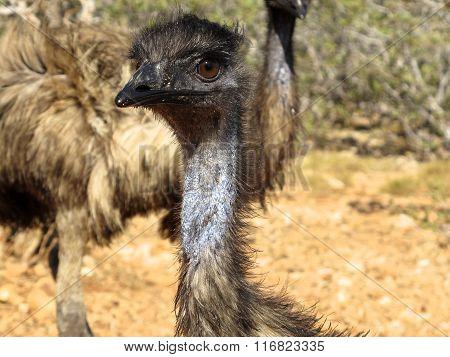 emus, australia