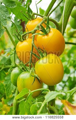 Branch Of Yellow Tomato