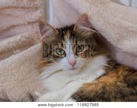 Long Hair Tortoiseshell Cat