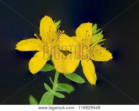 St. Johnswort Wild Flower